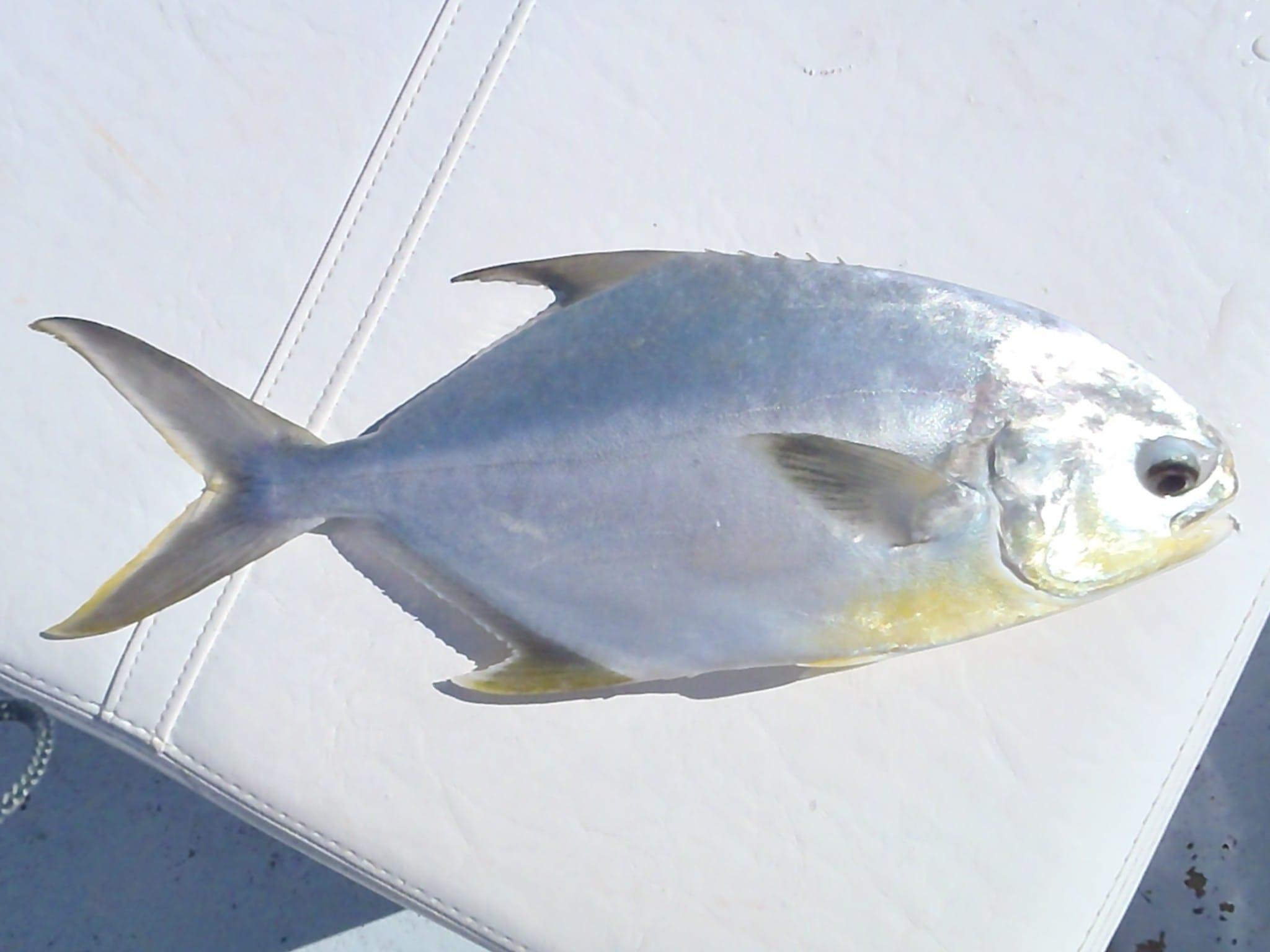 Pompano captiva fishing report for Florida pompano fish