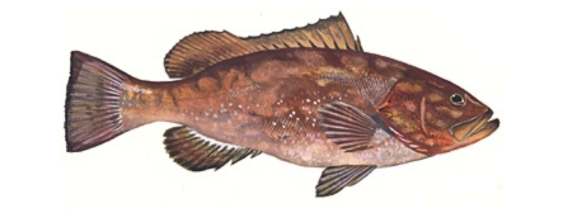 Good eating fish captiva fishing report for Fish to eat