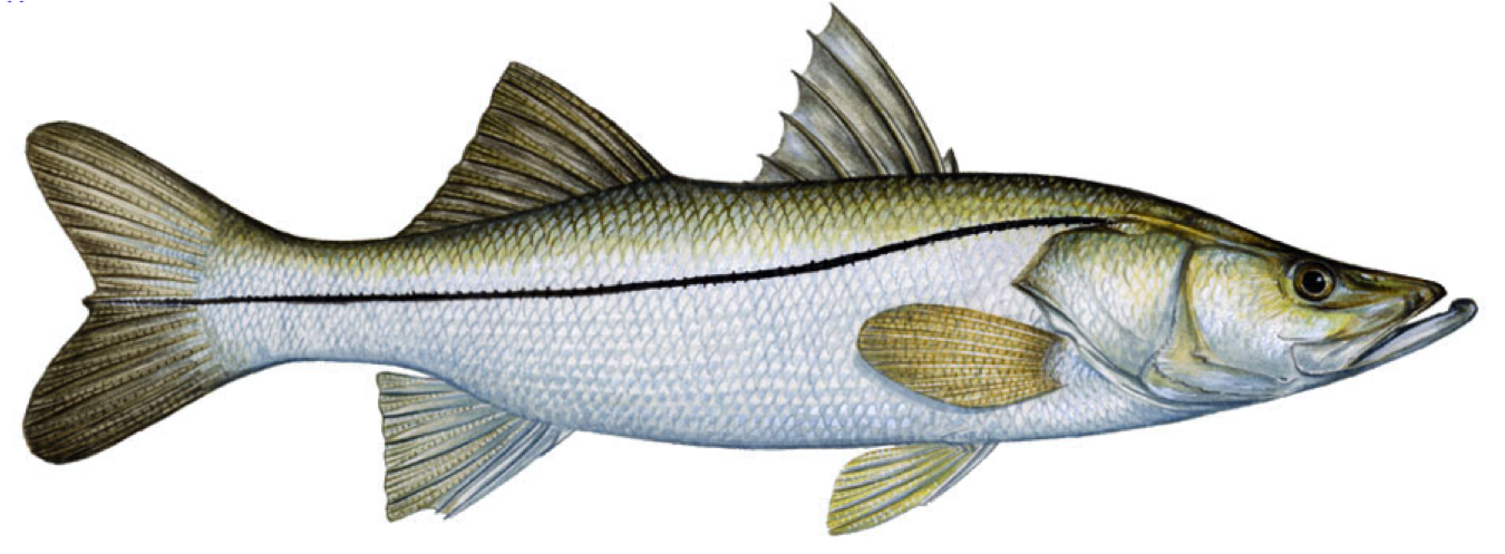 Good eating fish captiva fishing report for Fishing for snook