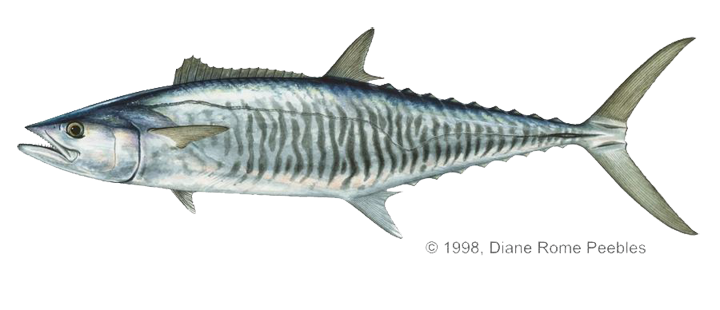 Good eating fish captiva fishing report for Spanish mackerel fish