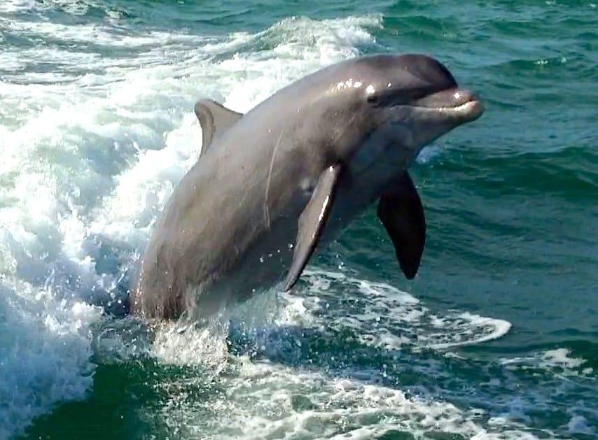 Bottlenose dolphin jumping inshore of Sanibel, Sanibel & Captiva Islands & Fort Myers Charters & Fishing Guide Service.