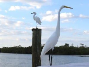 White egret, 4-15-14, Sanibel & Captiva Islands & Fort Myers Charters & Fishing Guide Service.