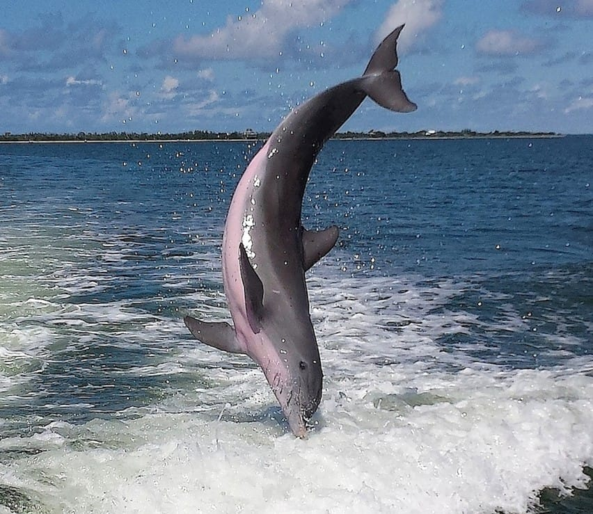 Captiva Dolphin Head Stand, Captiva Island, Photo Credit - Jene Zobrist, Sanibel Fishing & Captiva Fishing & Fort Myers Fishing Charters & Guide Service.