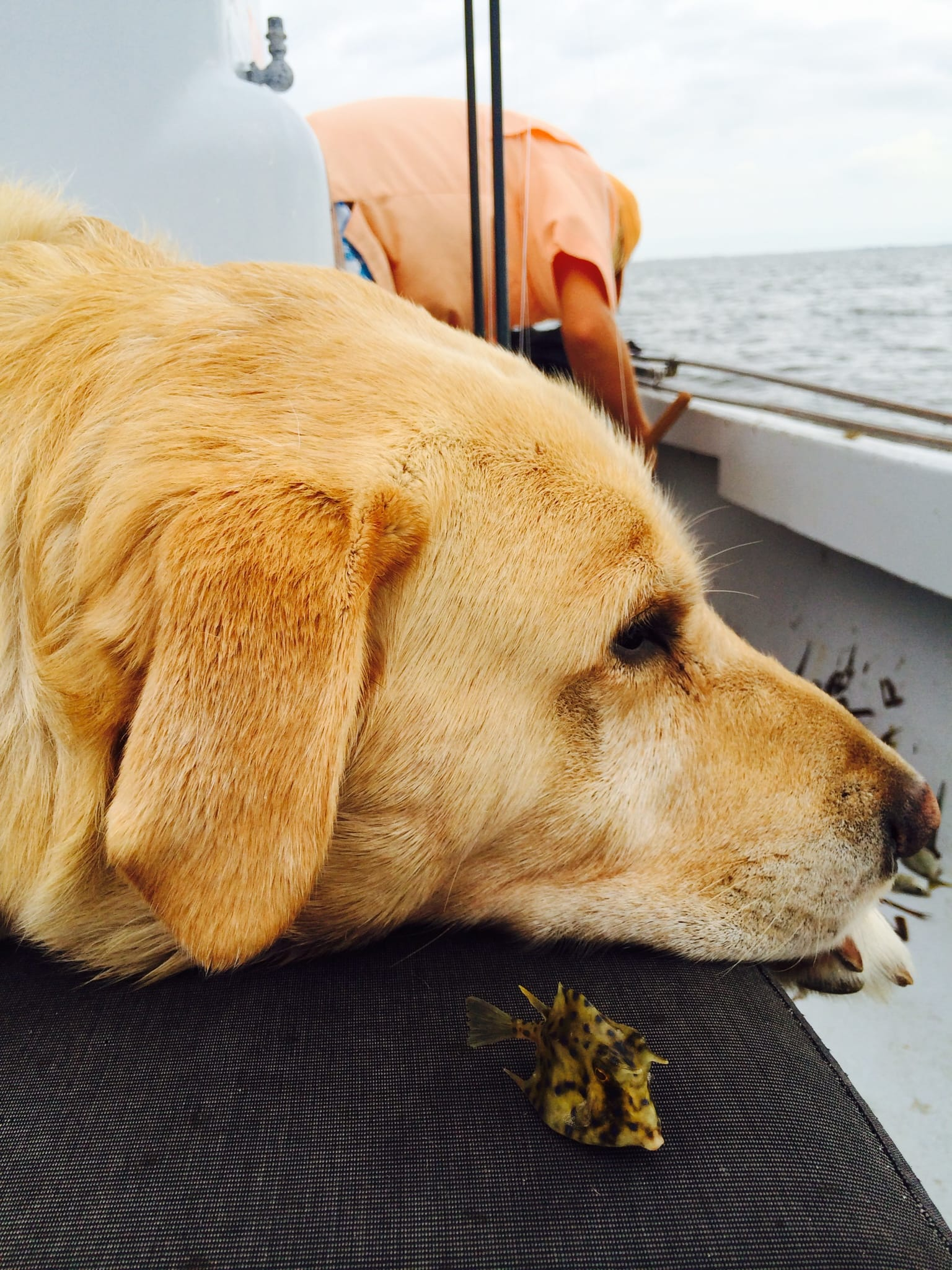 Hank with a cowfish, 10-22-14,, Sanibel Fishing & Captiva Fishing & Fort Myers Fishing Charters & Guide Service.